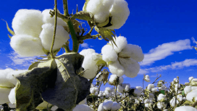 Cotton production represents 5% of glyphosate use in Mexico, of which 100% is imported and reformulated by Mexican companies, according to a report from the United States Department of Agriculture (USDA, for its acronym in English).