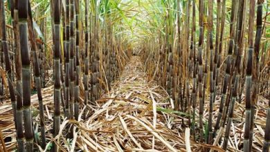 Photo of EU increases sugar imports from Brazil by 80,000 t