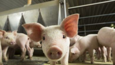 Photo of Pork production will grow 4% globally in 2021