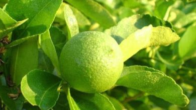 Mexico's lemon production would grow at a year-on-year rate of 6% in the 2020/2021 season, projected the United States Department of Agriculture (USDA).