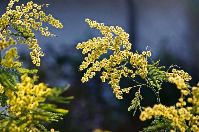 Mimosa seizoen