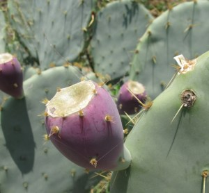 Opuntia cacanapa