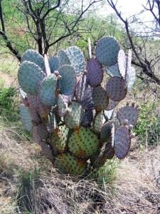Opuntia chlorotica santa-rita