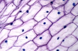 Plant Cell Nuclei