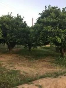 orange trees with weeds and bare spots on the ground