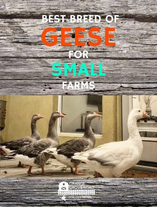 geese peeking in the window