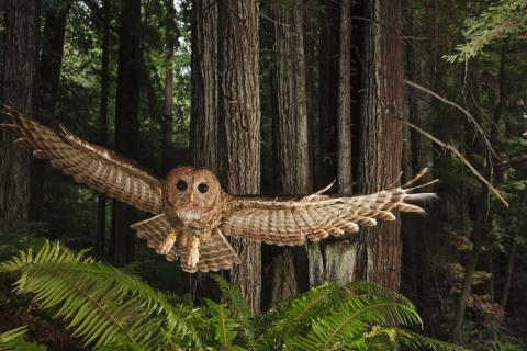 "Northern Spotted Owl, Clifornia, 2009; Michael Nichols, from National Geographic's ""Greatest Photographs of the American West."""
