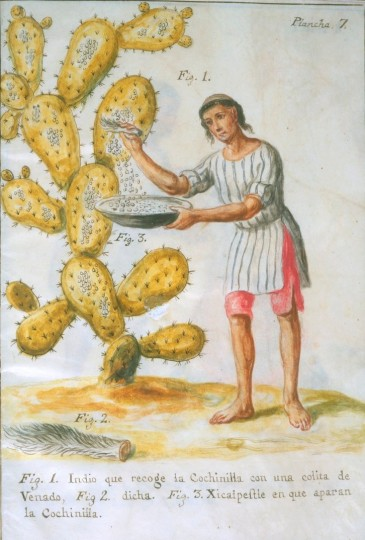 """José Antonio de Alzate y Ramírez, """"Indian Collecting Cochineal with a Deer Tail,"""" colored pigment on vellum."""