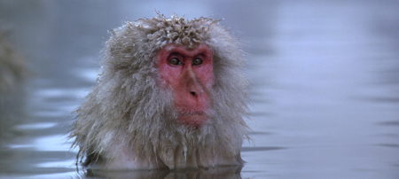 "Gary Busey stars in ""Baraka."" Sorry, my mistake, that's actually a Japanese snow monkey."