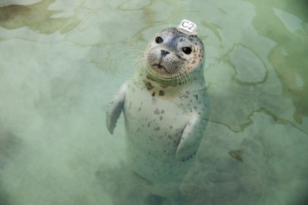 "Harbor Seal pup wearing a plastic id disk attached to its head, from Vanessa Renwick's ""Next Level Fucked Up."""