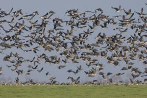 Image result for orkney goose