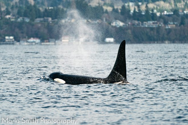 orca near seattle in the surface