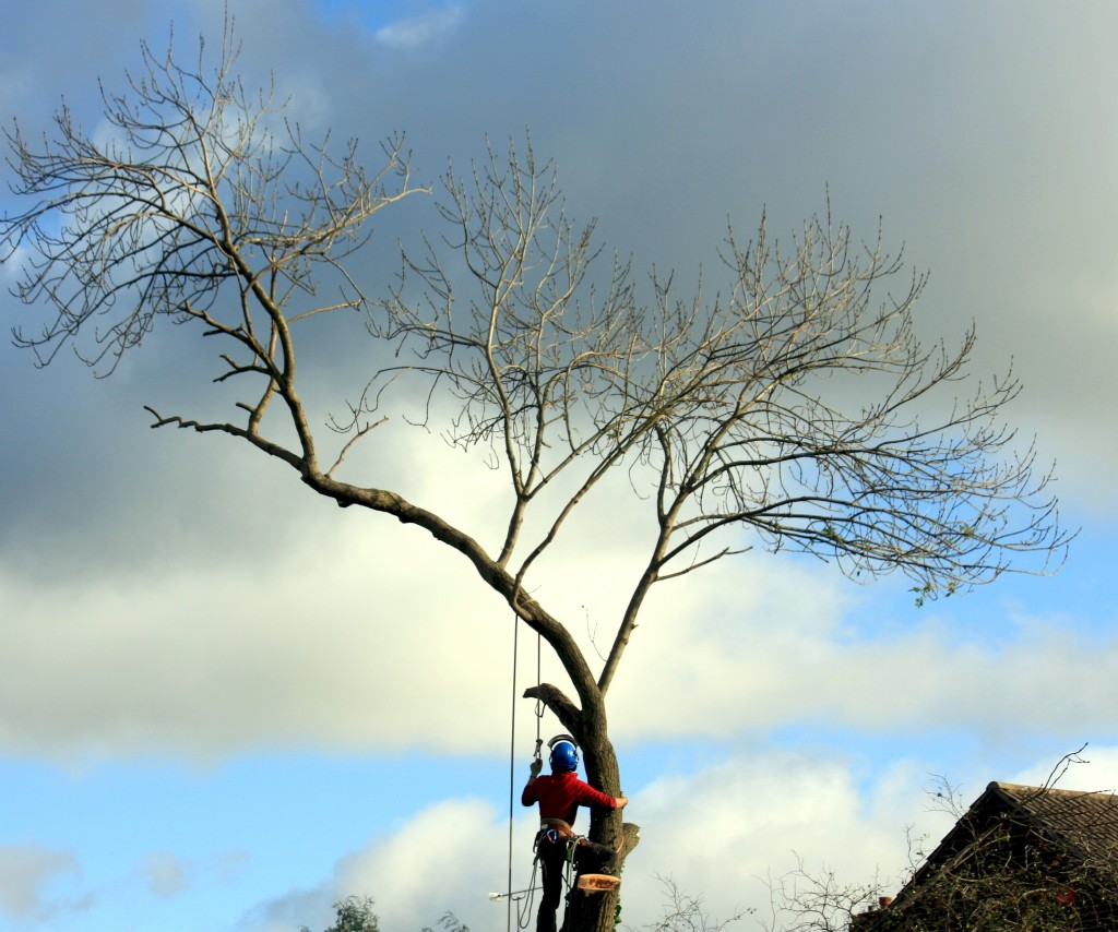 Dangerous Ash Tree Removal By Dismantling