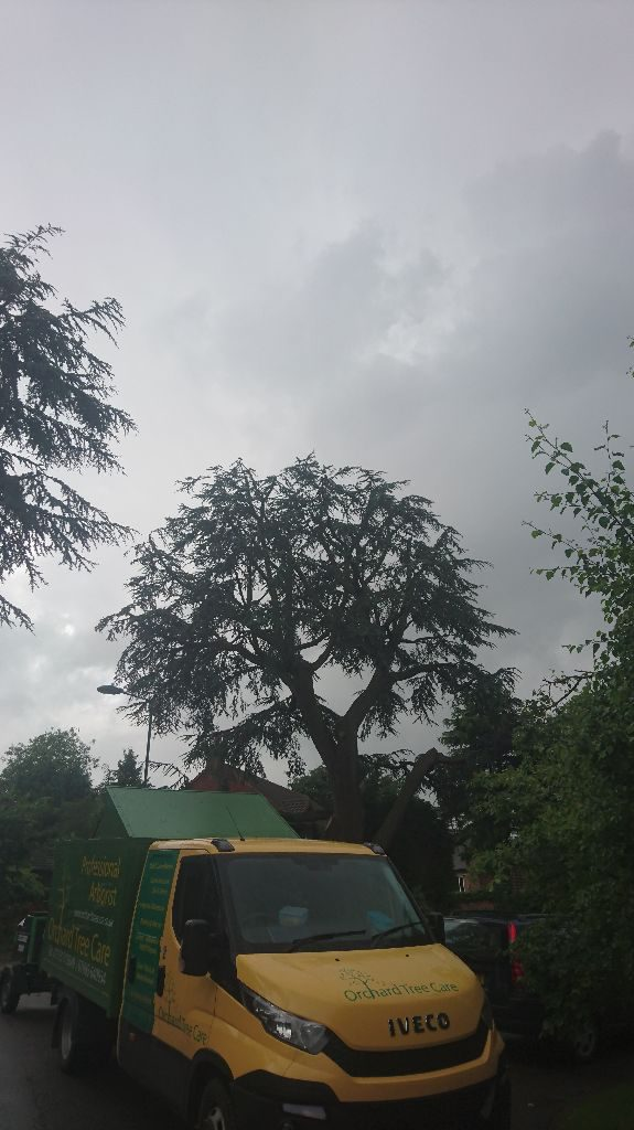 Large TPO Cedar Tree Reduction, Wollaton, Nottngham