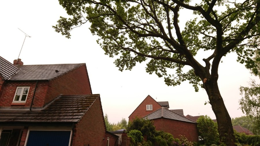 Protected Oak Tree Crown Thinning in Mansfield, Nottinghamshire