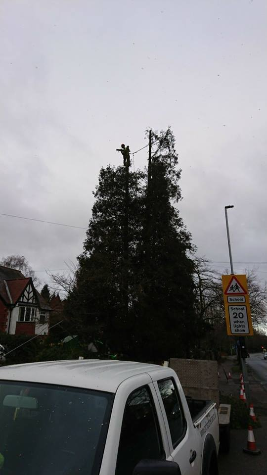 Removal of Dangerous Sequoia Tree