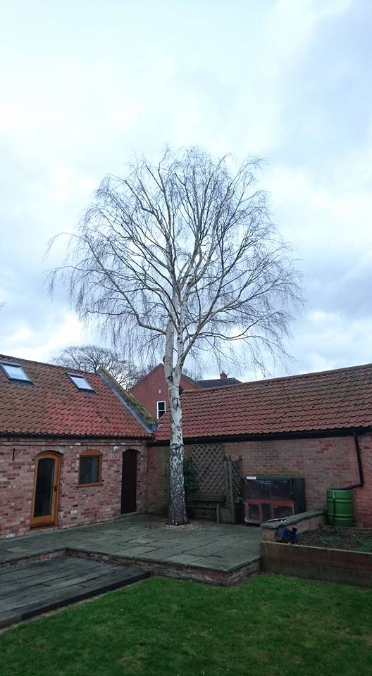 Silver Birch Tree Pruning, Plum Tree, Nottingham
