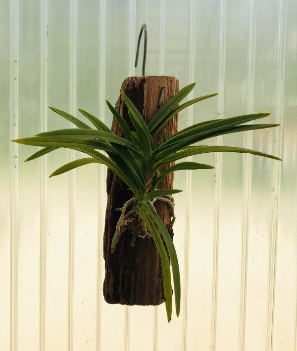 Orchidea Specie Botanica Neofinetia falcata