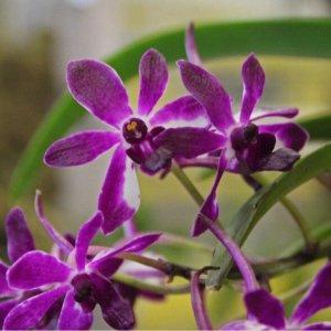 Orchidea Ibrida Neofinetia falcata x rhynchostylis gigantea