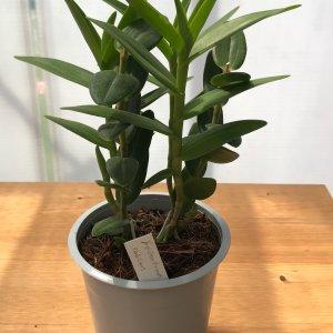 Orchidea Specie Botanica Epidendrum radicans