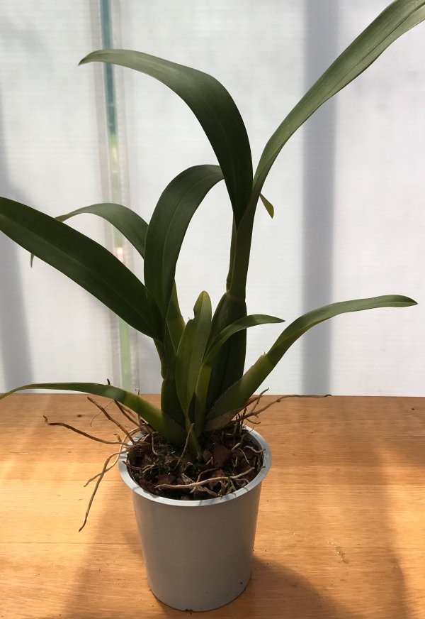Orchidea Ibrida Brassia mystic maze