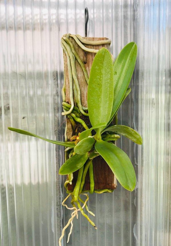 Orchidea Specie Botanica Phalaenopsis cornu-cervi