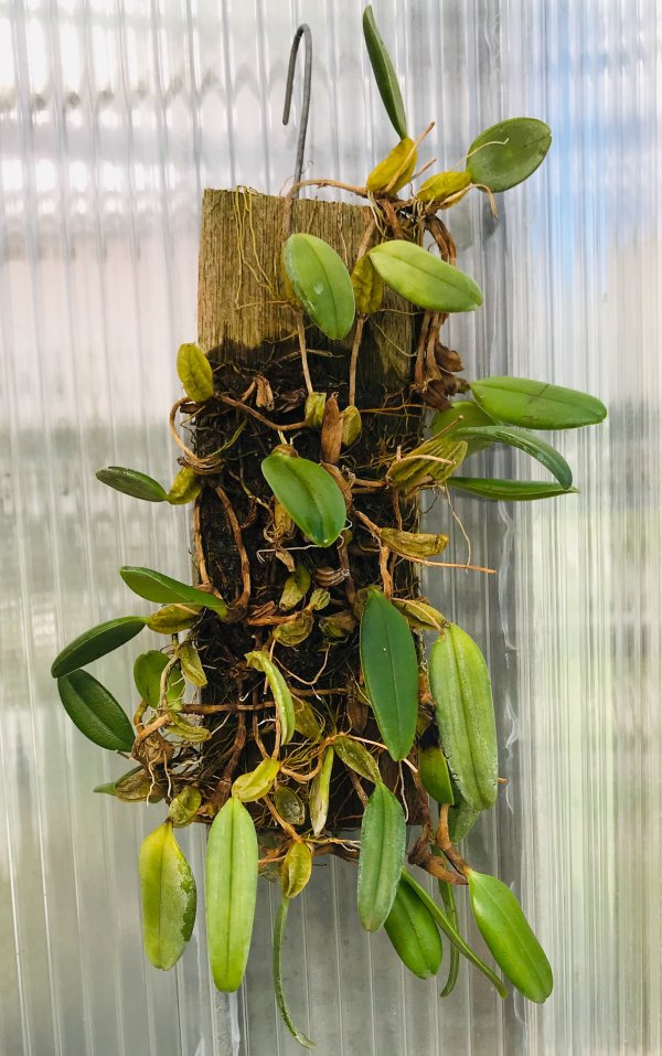 Orchidea Specie Botanica Bulbophyllum lasiochilum var black