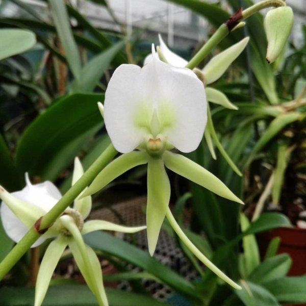 Orchidea Specie Botanica Angraecum eburneum