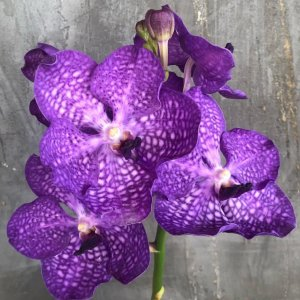 Vanda hybrid mix color