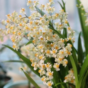Oncidium twinkle (yellow)