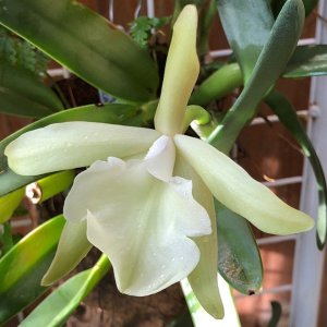 Orchidea Specie Botanica Rhyncholaelia glauca