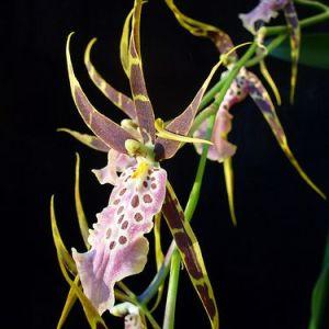 Brassia shelob