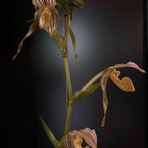 Paphiopedilum kolopakingii