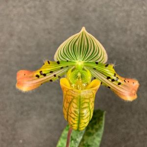 Paphiopedilum venustum (orange)
