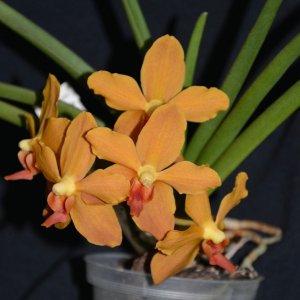 Ascocenda suksamran x paraphalaenopsis denevei