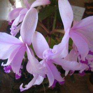 Cattleya intermedia var orlata x cattleya intermedia var aquinii