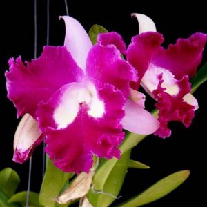 Cattleya sangob delight