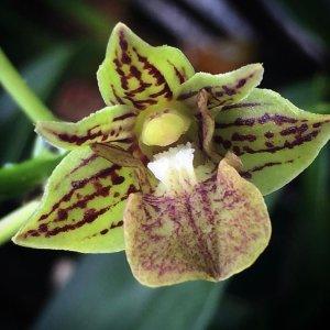 Dendrobium bifalce