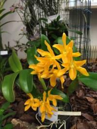 G.aurantiaca v. lemon