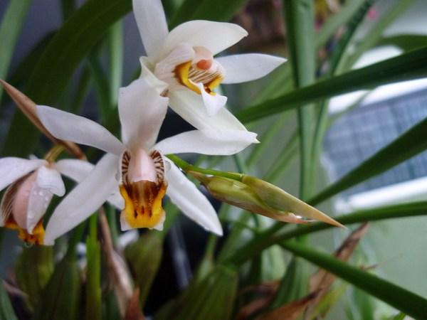 Coelogyne-graminifolia.jpg