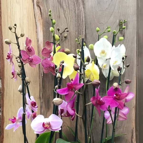 Phalaenopsis-hybrider med två stänglar, flera plantor