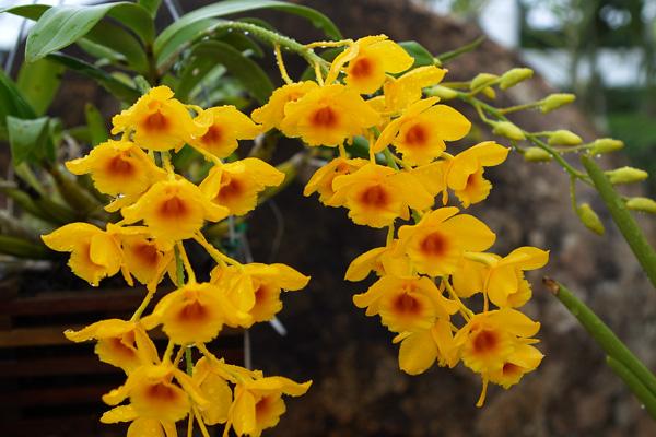 Dendrobium-chrysotoxum.jpg