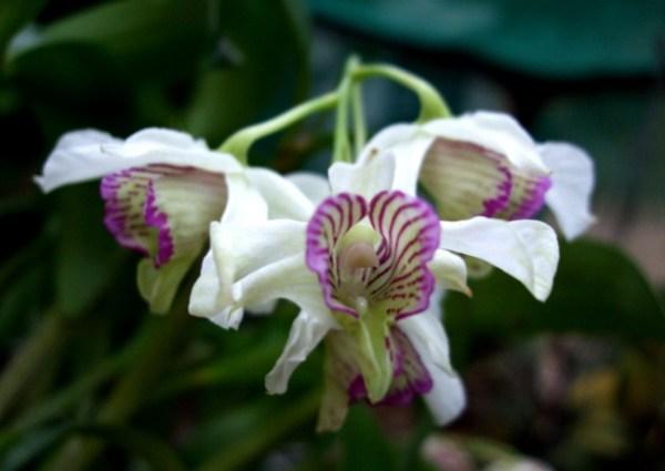 Dendrobium-Nora-Tokunaga.jpg