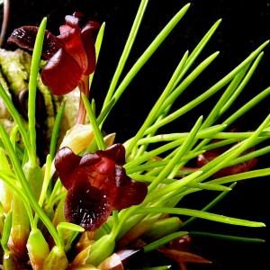 Maxillaria-juergensii.jpg