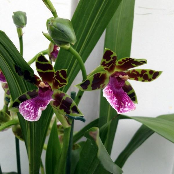 Zygopetalum-hybrid--blomma.jpg