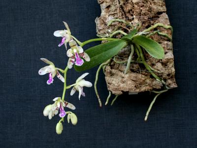 Sedirea-japonica-planta.jpg