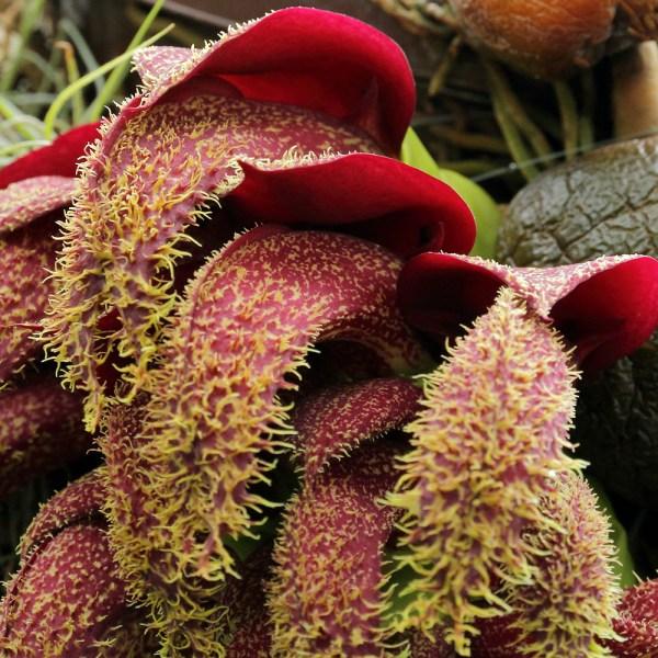 Bulbophyllum-phalaenopsis--narbild.jpg