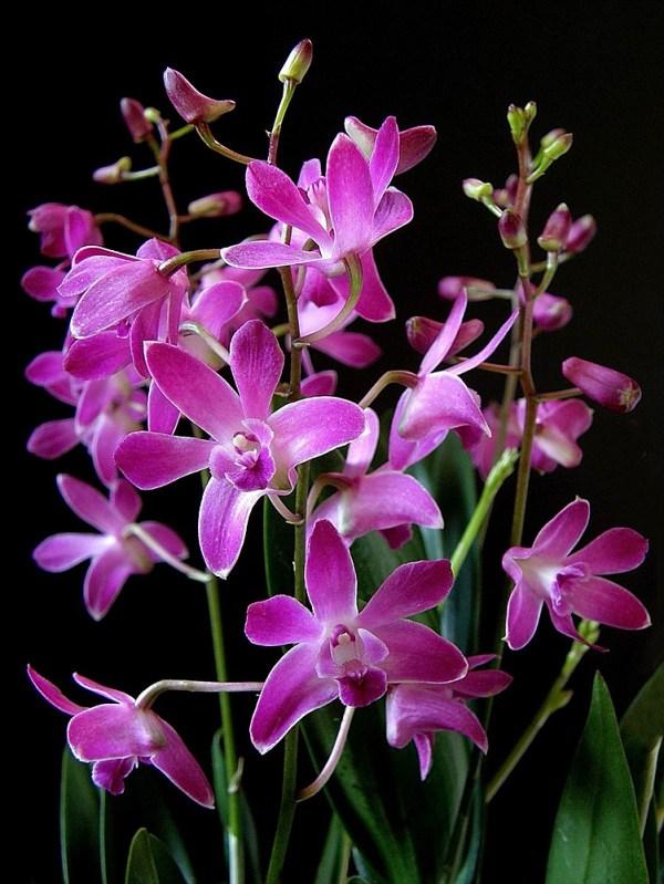 Dendrobium-Berry-Oda.jpg
