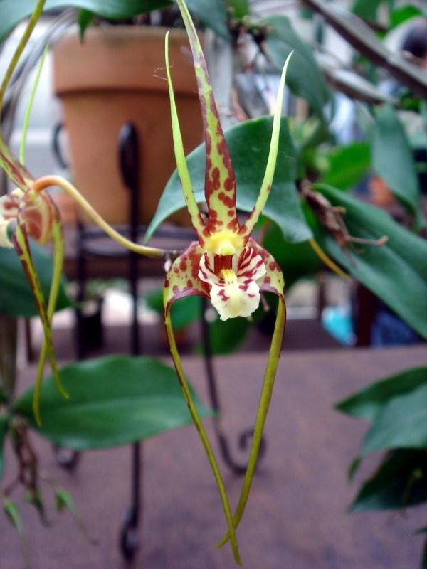 Dendrobium-tetragonum-var-gigantea.jpg
