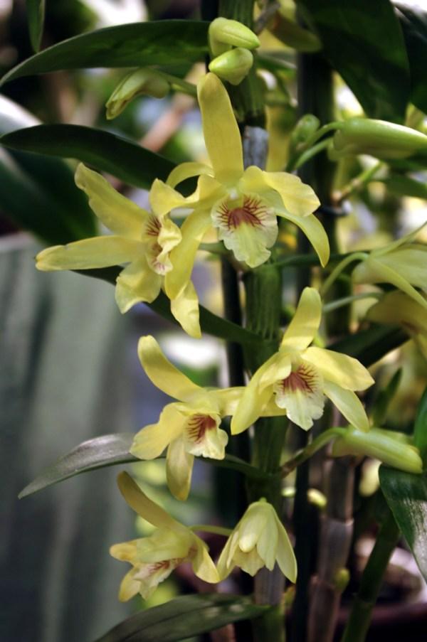 Dendrobium-Stardust-Chiyomi.jpg